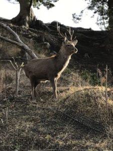 金華山の鹿
