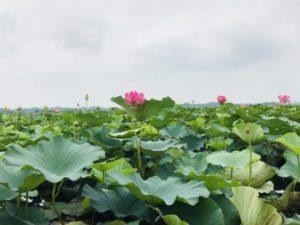 伊豆沼のハス
