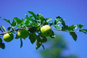 若いリンゴ